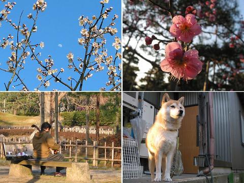 芦城公園の梅とさくら部長