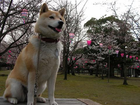 桜とさくら部長