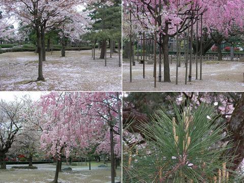 芦城公園のさくら絨毯