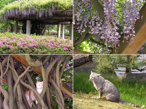 藤の花と猫さん