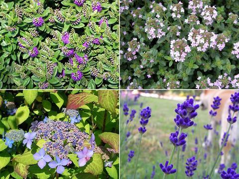 イギリス庭園のハーブたち