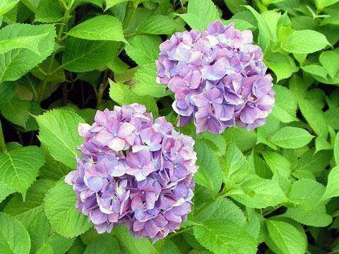 芦城公園の紫陽花