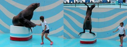 「海獣」トドのショー