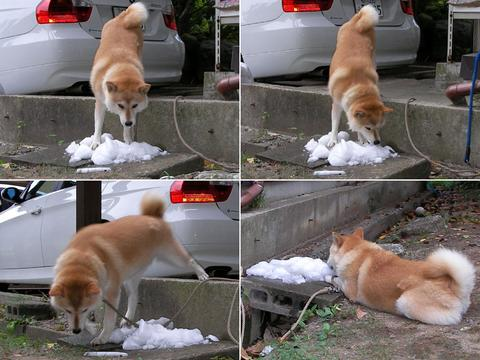 さくら部長、不自然な格好で氷を舐めるも、段差を降りればのんびり楽しめることにようやく気づくの図