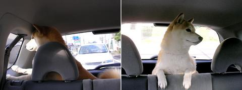 ドライブさくら部長
