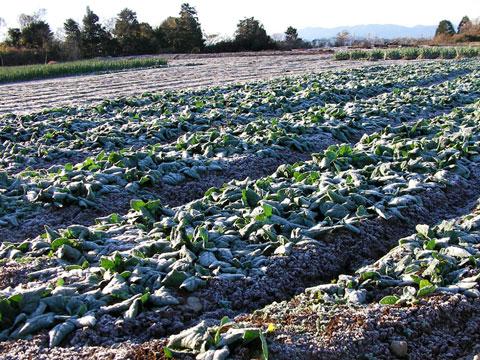 霜で真っ白の畑