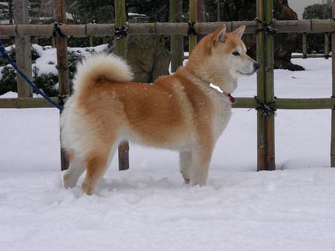 雪の中のさくら部長