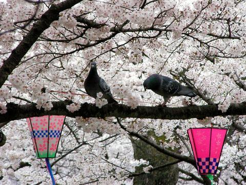 ハトの人も特等席でお花見