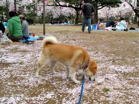 桜の絨毯の上でも、餌探しに余念の無い部長
