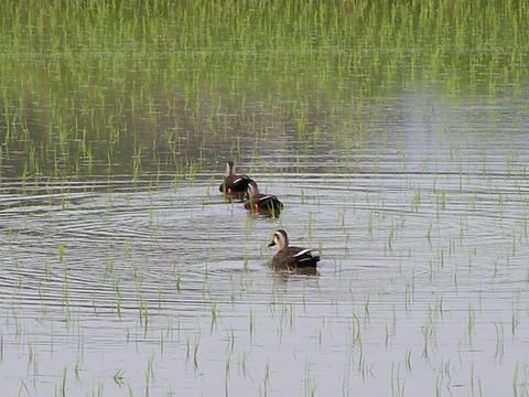 水田を守る鴨のひと