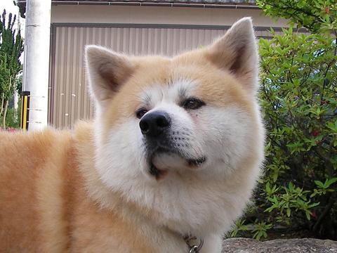 秋田犬のダイ