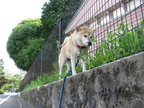 お散歩さくら部長