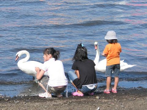 やたら懐く白鳥のひとたち