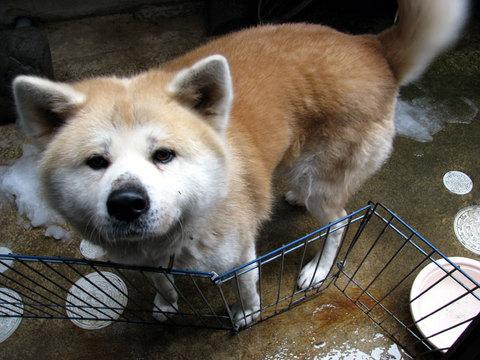 秋田犬の画像 p1_17
