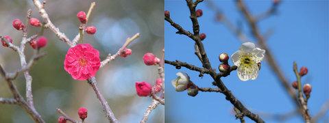 芦城公園の梅