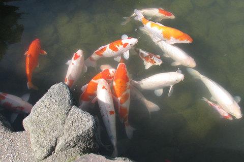 芦城公園の鯉