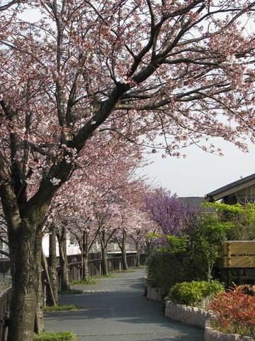 御経塚の桜