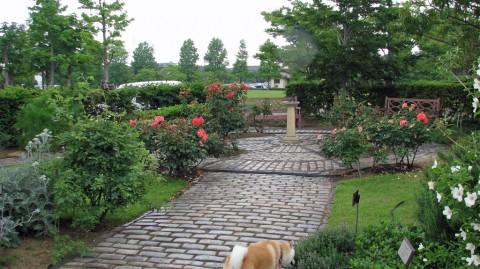 英国庭園の薔薇