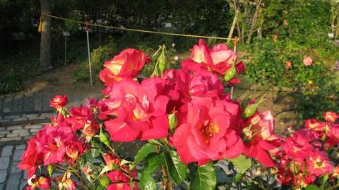 イギリス庭園の薔薇