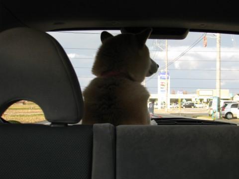 ドライブ大好き さくら部長