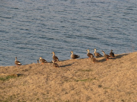 羽毛布団を干す鴨の人々