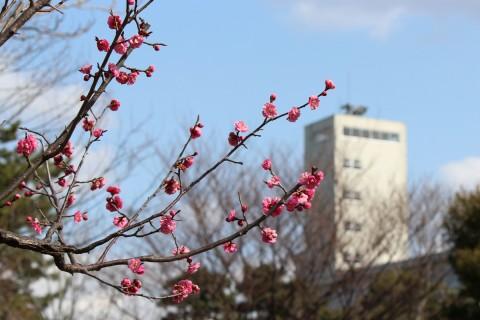 紅梅と小松市公会堂