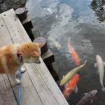 鯉を観察中