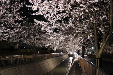 御経塚馬場川沿いの桜 夜桜編