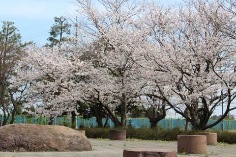 末松廃寺の桜