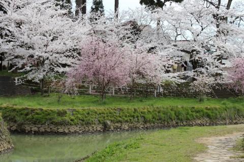 大聖寺川の桜