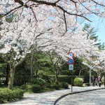 出羽町の桜並木