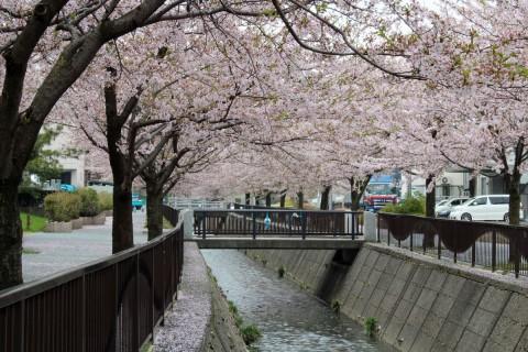 御経塚馬場川の桜