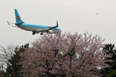桜と大韓航空