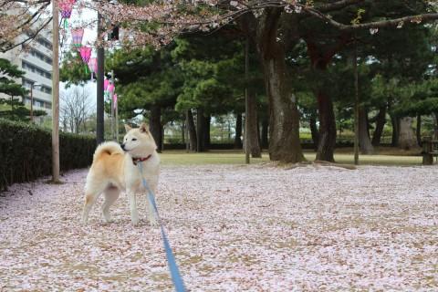 さくら部長 桜の絨毯の上に立つ