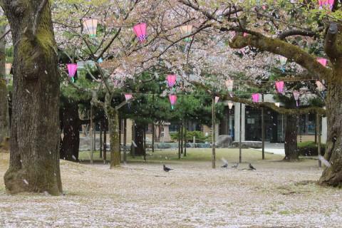 桜ハラハラ