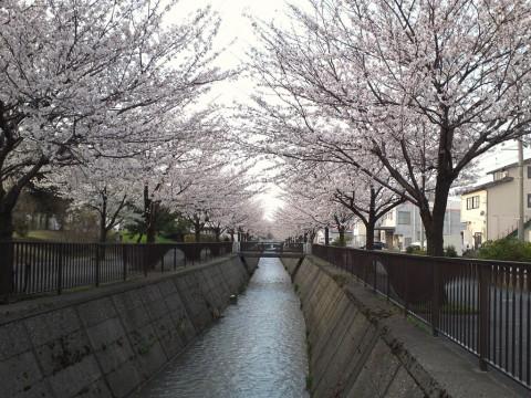 御経塚馬場川沿いの桜 朝編