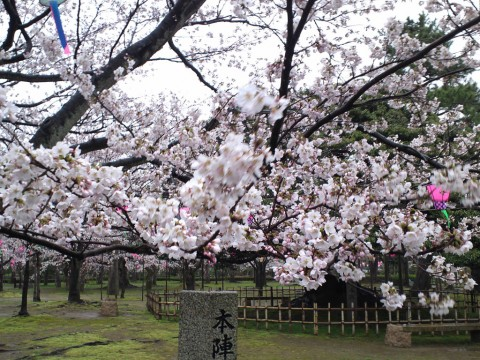 風に揺れる桜