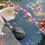 芦城公園の錦鯉