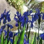 芦城公園の花菖蒲